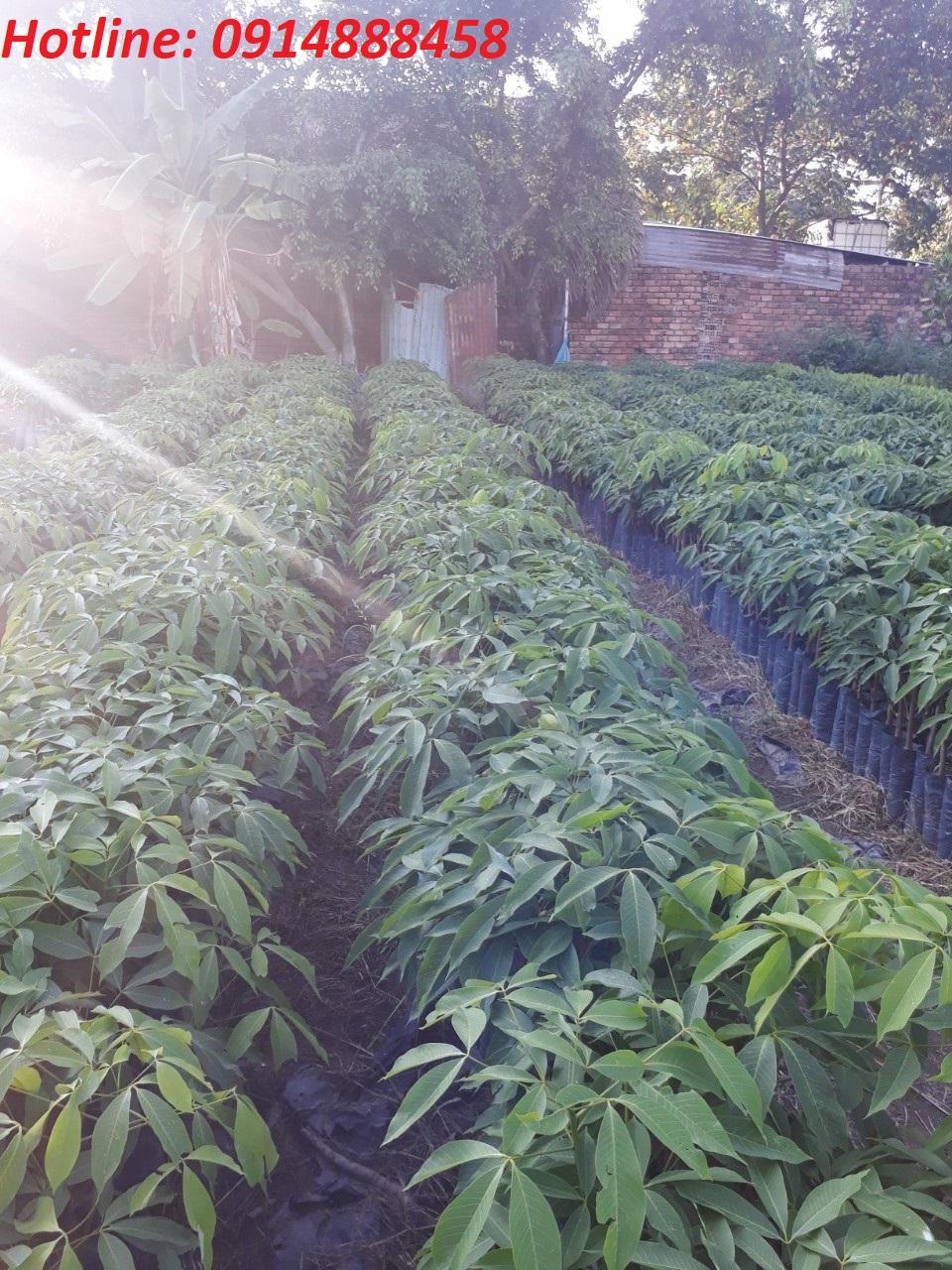 Vận chuyển cây cao su đi Lào